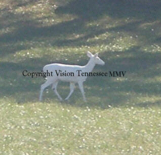 Albino Deer Photographed