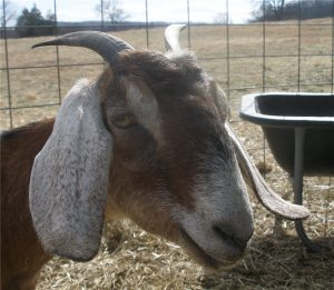 The Trouble with Goat Horns