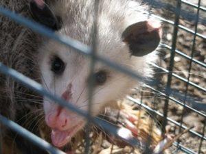 beautypossum