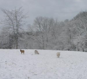 Snowy Sheep in March