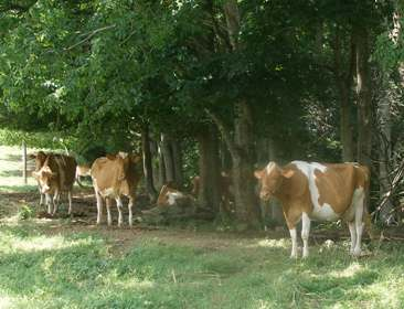 The Guernsey Dairy