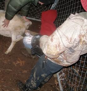 Pulling a Breech Lamb