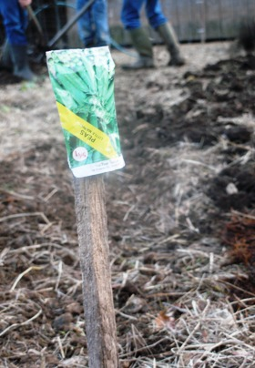 Planting Peas and Spreading Compost