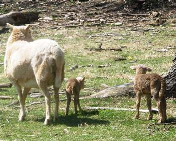 More Katahdin Sheep Twins Born