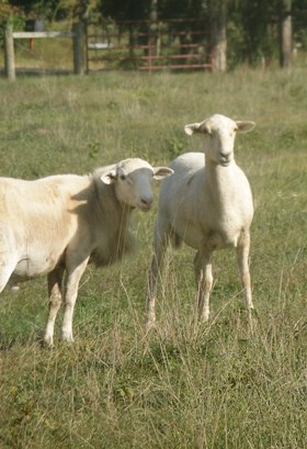 Agrarian Life: Wayward Sheep Hear the Shepherd's Voice