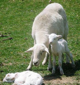 Katahdin Twins Born