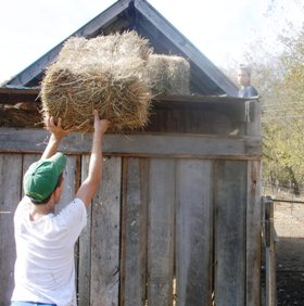 Farm Boys Gathering Hay for the Winter